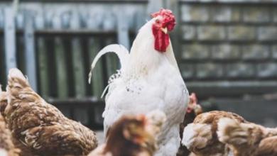 Photo of تعرف على أعراض أنفلونزا الطيور.. تشبه نزلات البرد وفيروس كورونا